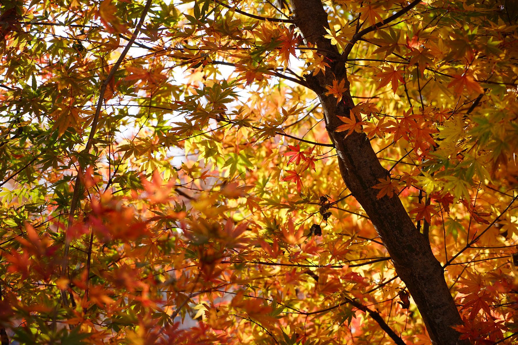 秋-3 紅葉のアップ